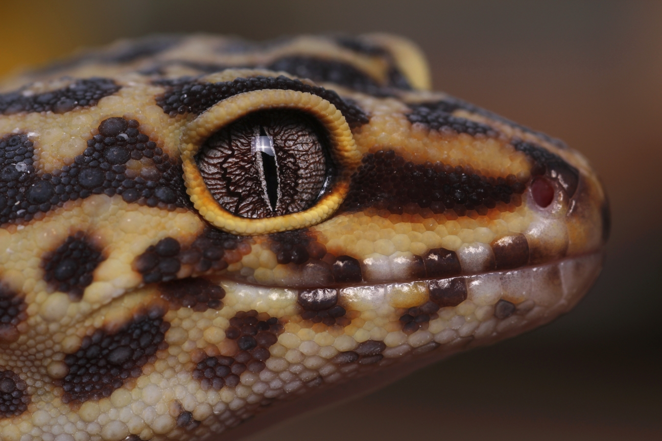 PC07 Leopard Gecko FINAL