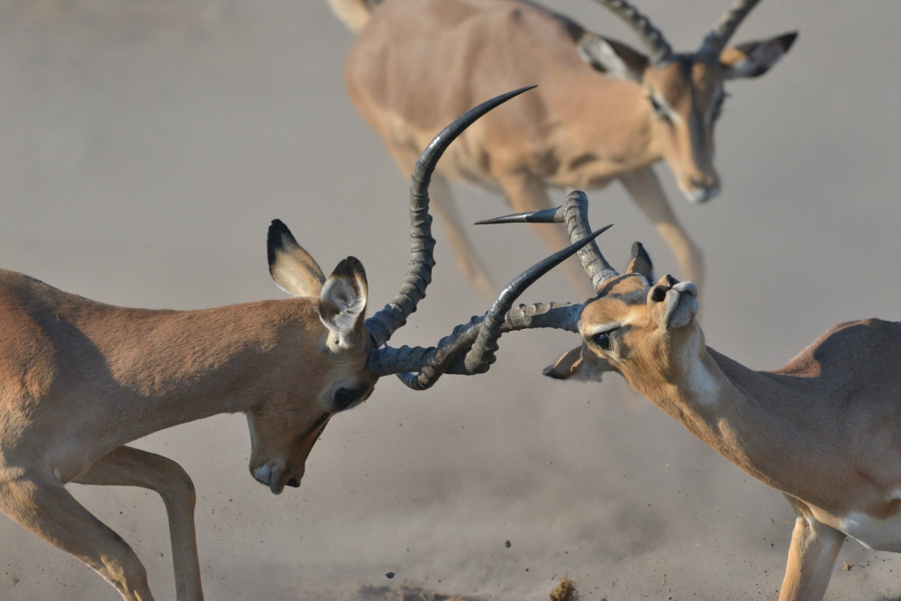 Impala Fighting Barbara Stanley