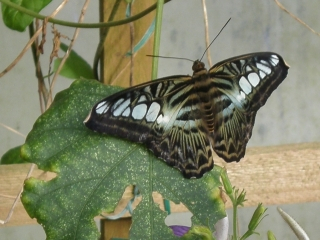 Butterfly -west midlands
